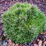 Pinus_mugo_flanders_belle_