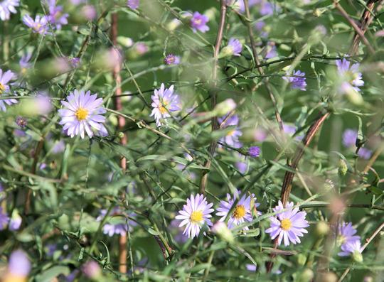 Michaelmas Daisies (Aster turbinellus)
