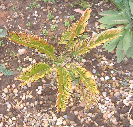 Sick cycad. (Cycas revoluta (Japanese Fern Palm))