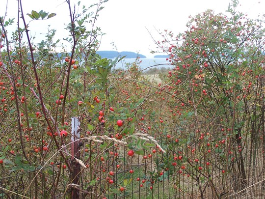 Rosehips (wild roses)