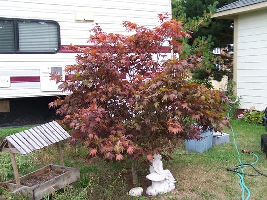 Japanese blood maple