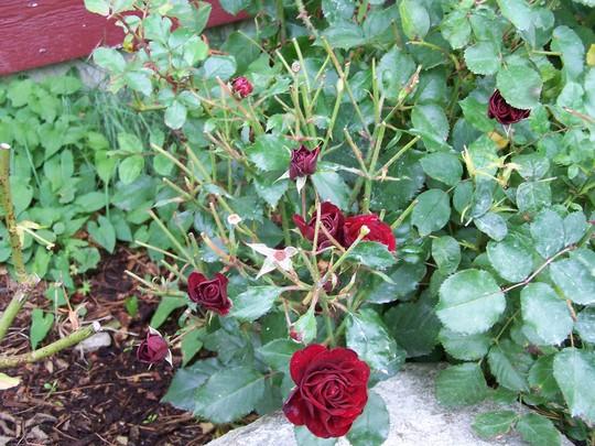 deear eaten roses