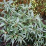 Sarcococca hookeriana (Sarcococca hookeriana var. digyna)