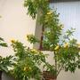 My 7 Year Old, 14 foot Markhamia lutea - Markhamia tree (Markhamia lutea)