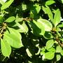 Ficus cyathistipula (Ficus cyathistipula)