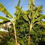 Ficus cyathistipula - Congo Fig (Congo Fig)
