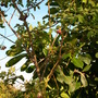 Markhamia zanzibarica - Maroon Bell-Bean (Markhamia zanzibarica)