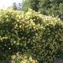 Back Garden (lonicera)