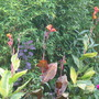 Cannas and Bamboo (sorry wanted to link to garden so posted it again!) (Canna indica (Indian shot plant))