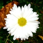 White crysanthemum (Chrysanthemum maximowiczii)
