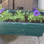 petunias in their container (Petunia x hybrida)