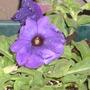 Close up purple petunia  (Petunia x hybrida)