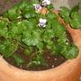 Viola  (viola heteracea)