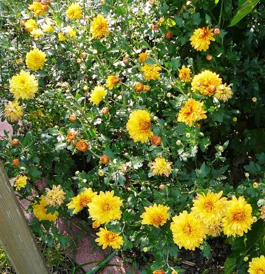 Yellow Chrysanths (Chrysanthemum maximowiczii)