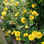 Yellow Chrysanths (Chrysanthemum maximowiczii)