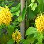 Justicia aurea - Yellow Jacobinia (Justicia aurea)