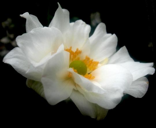 Anemone x hybrida 'Margarete' (Anemone x hybrida 'Margarete')
