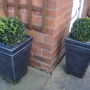 More box in my back garden (Buxus sempervirens (Common box))