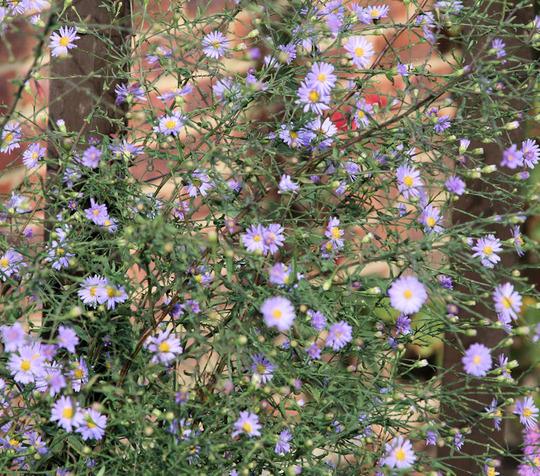 Purple Michaelmas (Aster turbinellus)