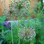 seed heads (Allium)