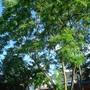 Tree in garden (Robinia pseudoacacia (False acacia))