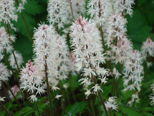 woodland garden (Tiarella cordifolia (Foam flower))