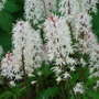 woodland garden (Tiarella cordifolia (Foam flower))