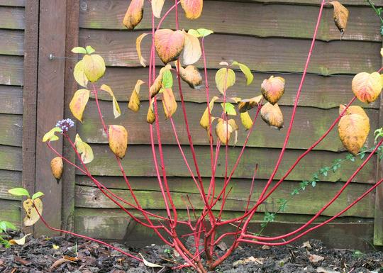 Red barked dogwood (Cornus alba (Red-barked dogwood))