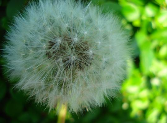 dandelion clock (Taraxacum officinale (Dandelion))