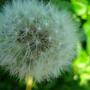 dandelion clock (Taraxacum officinale (Dandelion))