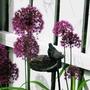 allium (Allium aflatunense)