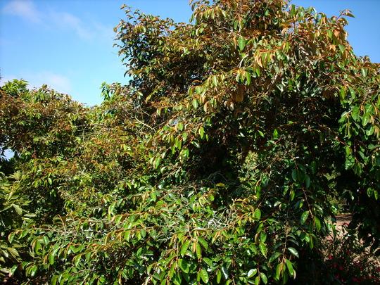 Chrysophyllum cainito - Star Apple (Chrysophyllum cainito)