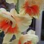 Cream_and_orange_gladiolus_1