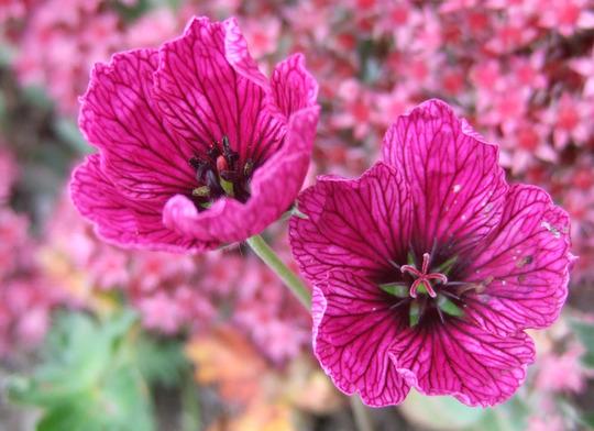Geranium cinereum 'Purple Pillow' (Geranium cinereum)