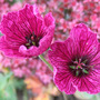 Geranium_cinereum_purple_pillow_a