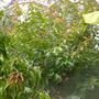 Syzygium cumini - Java Plum (Syzygium cumini)