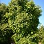 Syzygium cumini - Java Plum (Syzygium cumini -)