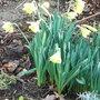 Narcissus 'Cedric Morris' 3 (Narcissus 'Cedric Morris')