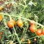 Asparagus seed berries