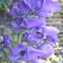 Aconitum carmichaelii