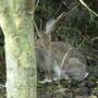 Rabbit hiding in my garden