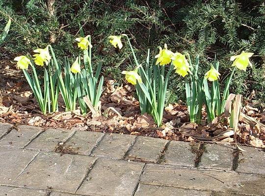 Narcissus 'Rijnveld's Early Sensation' 2 (Narcissus 'Reinveld's Early Sensation')