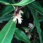Sarcococca humilis (Sarcococca humilis)