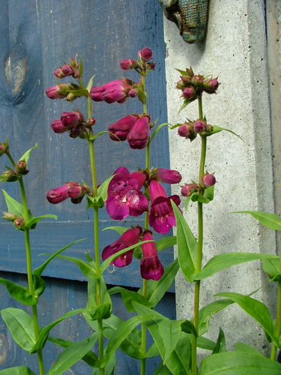 Penstemon Sensation from seed