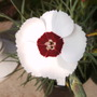 Dianthus_dainty_dame