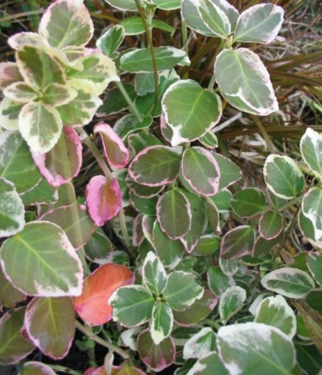 Euonymus Emerald Gaiety (Euonymus fortunei)