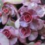 Sedum Voodoo (Sedum spurium)