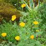 California Poppies  (Escholtzia) (Eschscholzia)