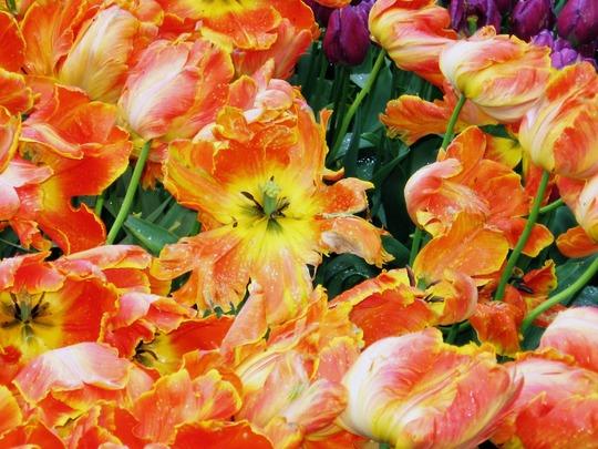 Tulips in Keukenhof Gardens