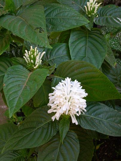 Justicia carnea 'alba' - White Brazilian Plume (Justicia carnea 'alba')